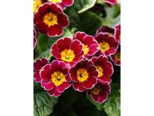 549_Primula Gold Lace Scarlet  302,2 р. за 3 шт..jpg