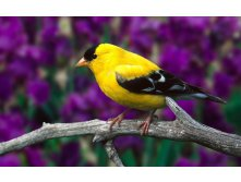 1280-yellow-and-black-bird-on-a-branch.jpg