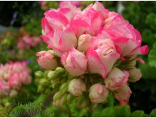 Fischers Appleblossom
