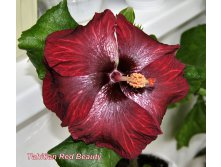 Tahitian Red Beauty