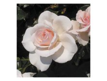The Soham Rose - 8.48.jpg