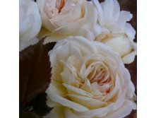 White Fox Rose - 8.48.jpg