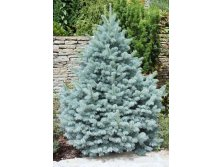 Ель Picea pungens Glauca Majestic Blue-92.jpg