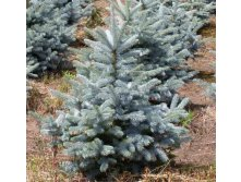 Ель Picea pungens Blue Diamond-424,60.jpg