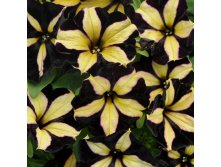 Петуния Chameletunia Black Yellow Striped 2 шт.
