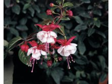 Fuchsia Trailing Sir Matt Busby