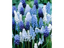 MUSCARI MAGIC MIX (50 лук в упак)