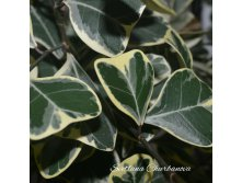 Ficus Triangularis White Margin