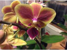 "Phalaenopsis ""Colombia Chester wit."" или Phal. Sogo Yellowtris 'Be Fortune'"