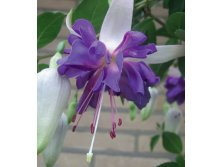 Fuchsia Giant Blue Angel