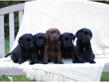 cute_puppies_pack_labrador_wallpaper.jpg