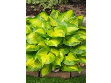 HOSTA LAKESIDE BANANA BAY NEW.