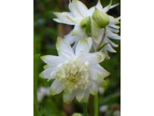 Аквилегия Aquilegia Lime Sorbet new