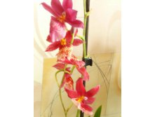 Orchidee Cambria Nelly Isler.JPG