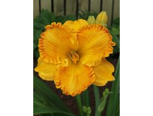 Hemerocallis_Orange_Nassau_NEW.jpg