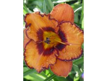 Hemerocallis_San Luis Halloween NEW.jpg