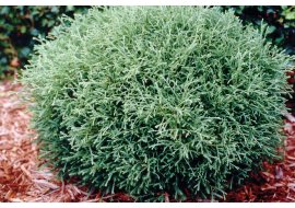 Туя западная (Thuja occidentalis Mr. Bowling Ball) C3 20-30, 431 руб
