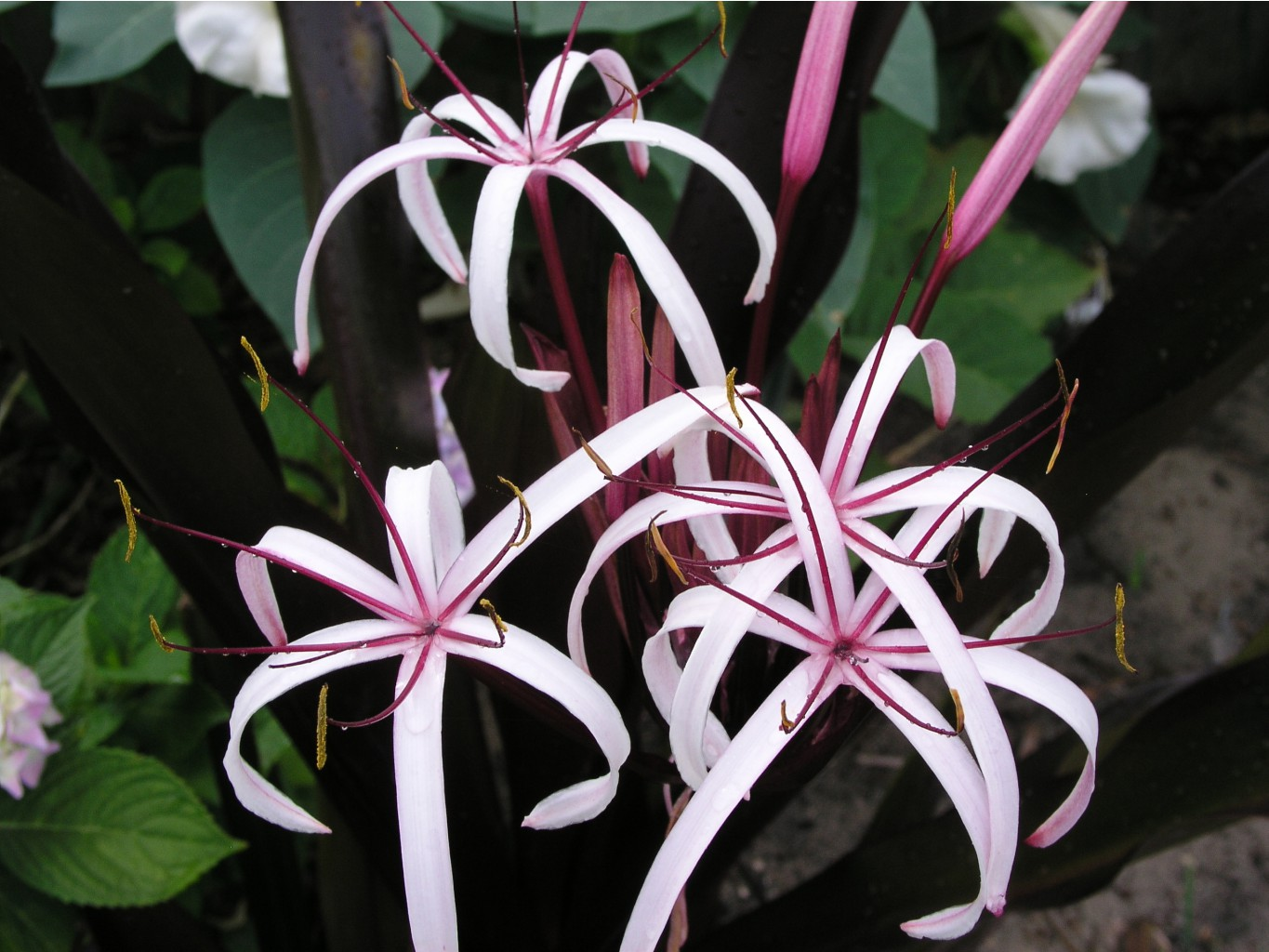 Crinum Procerum Red-leaved #05 (3).jpg